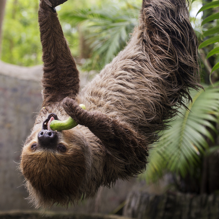oso perezoso: Young Hoffmanns two-toed sloth on the tree eating cucumber Foto de archivo