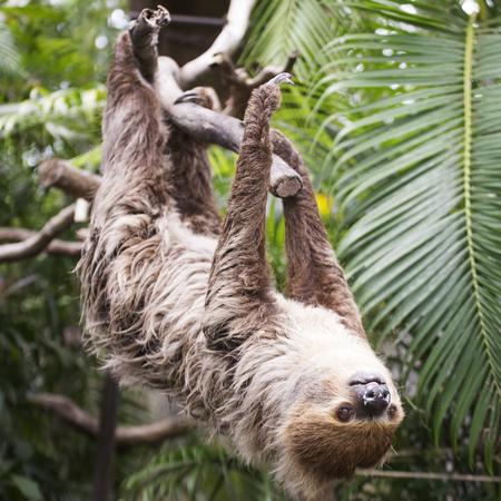 oso perezoso: de Hoffmann joven dos dedos perezoso (Choloepus hoffmanni) en el árbol