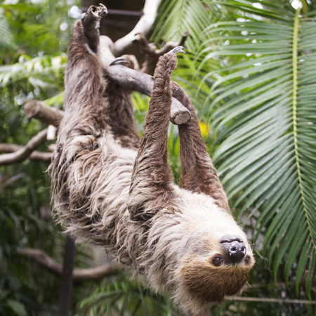 sloth: Young Hoffmanns two-toed sloth (Choloepus hoffmanni) on the tree