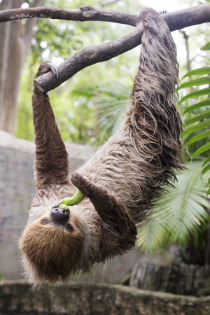 oso perezoso: Closed up Young Hoffmanns two-toed sloth eating cucumber