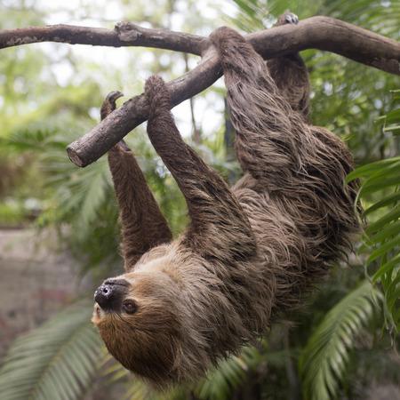 sloth: de Hoffmann joven dos dedos perezoso (Choloepus hoffmanni) que sube en el árbol