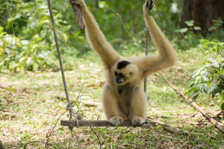Gibbon monkey sitting on swing in the garden Stock Photo