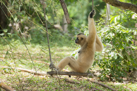 siamang: Gibbon monkey sitting on swing in the garden Stock Photo
