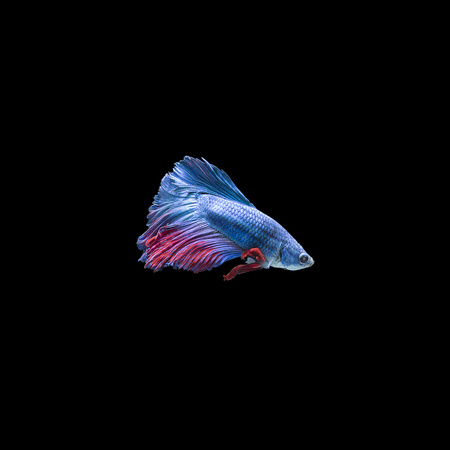 Colorful Siam fighting fish on the black background