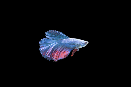 Colorful Siam fighting fish on the black background Stock Photo