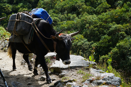 Yak Carrying Heavy Goods on The Way to Namche Bazaar, Everest Base Camp Trek From Tengboche to Dingboche , Nepal