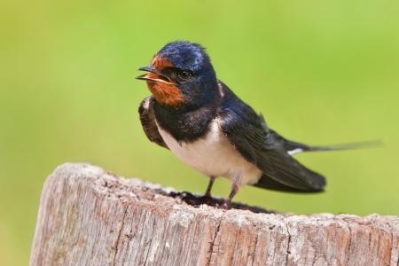 barn swallow Stock fotó