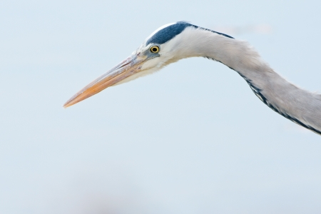 grey heron Stock Photo - 20212785