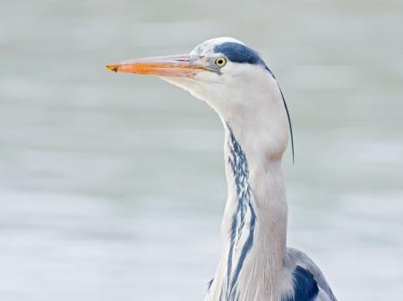 grey heron Stock Photo - 20212842
