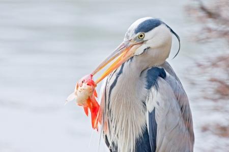 grey heron catching a goldfish Stock Photo - 21201717