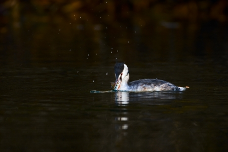 dabbling duck: great crested grebe
