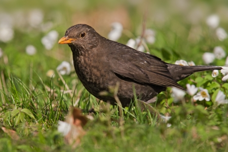 blackbird  Turdus merula   photo