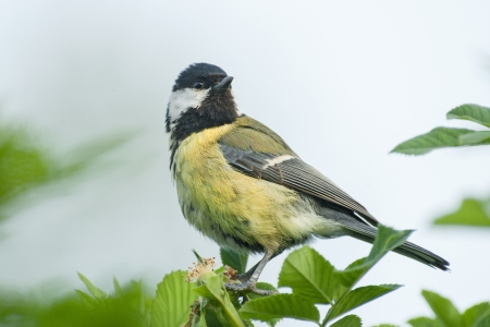 great tit photo