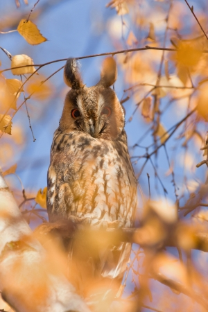 long eared owl photo