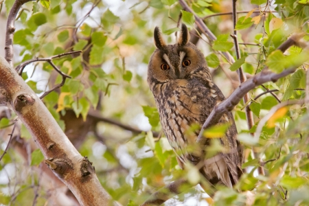 long eared owl Standard-Bild