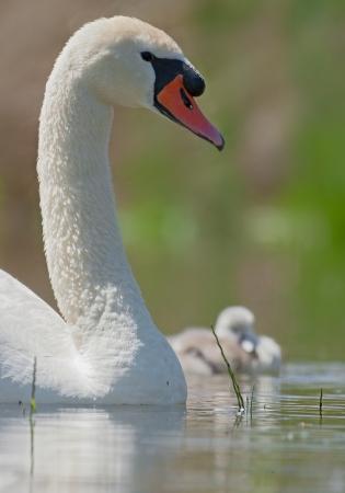 juvenile mute swan photo