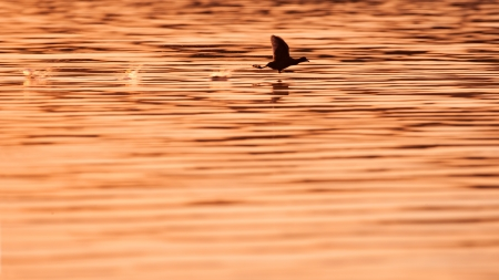 coot: flying coot