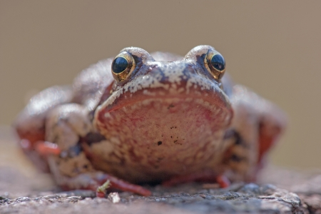 portrait of a grass frog   photo