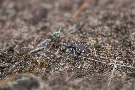 cicindela: wood tiger beetle