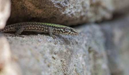 lizard in field: pared lagarto
