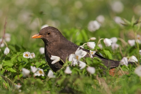 female blackbird photo