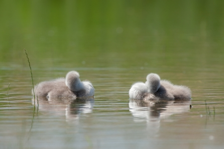 juvenile: juvenile mute swan Stock Photo