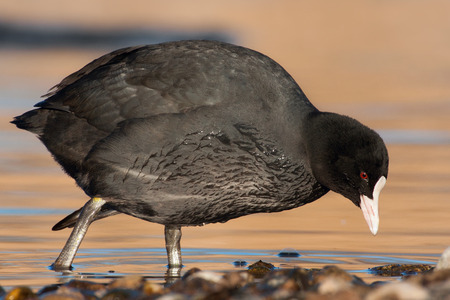 common coot photo