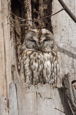 brown owl photo