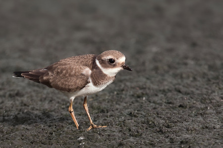 plover: common ringed plover