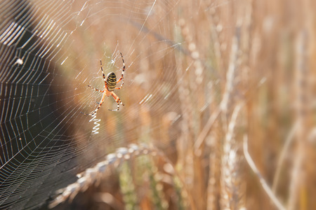wasp spider photo