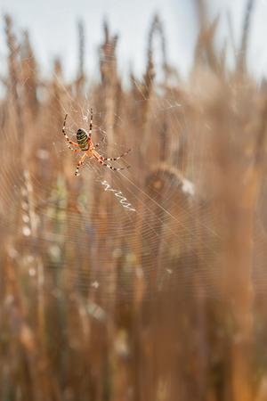 wasp spider photo