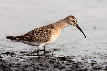 wader: curlew sandpiper Stock Photo