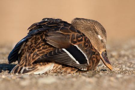 dead duck: female mallard