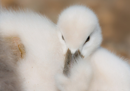 schutz: young mute swan Stock Photo