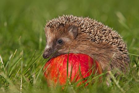 hedgehog: hedgehog Stock Photo