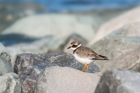 ringed: common ringed plover
