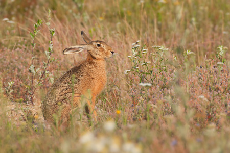 brown hare (Lepus europaeus) photo