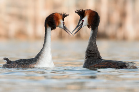 crested duck: great crested grebe