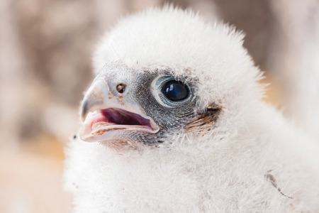 falco: young peregrine Stock Photo