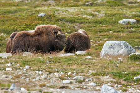 musk: musk ox in norway Stock Photo