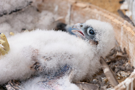 falco peregrinus: young peregrine Stock Photo