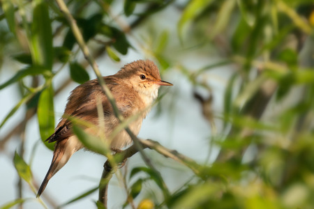 warbler: reed warbler bird  Stock Photo