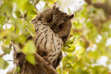 eared: long eared owl Stock Photo