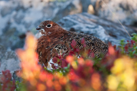 grouse: willow grouse