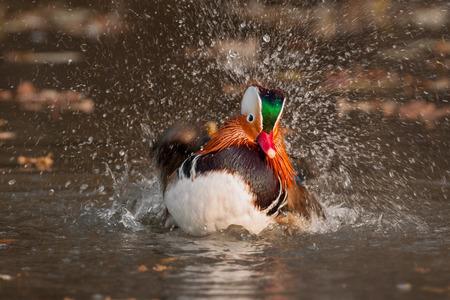 Mandarin duck photo