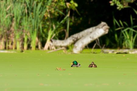 dead duck: two mallards on a lake Stock Photo