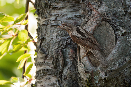 cryptic: wryneck