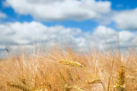 champ de mais: champ de maïs Banque d'images