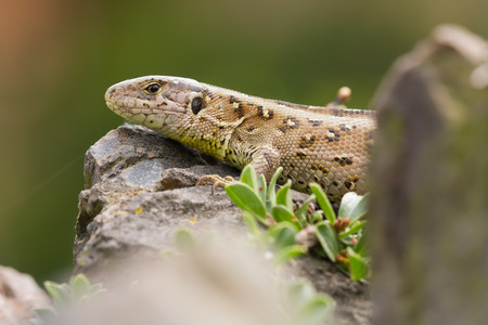 lacerta: sand lizard (Lacerta agilis) Stock Photo