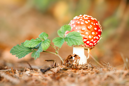 muscaria: fly agaric